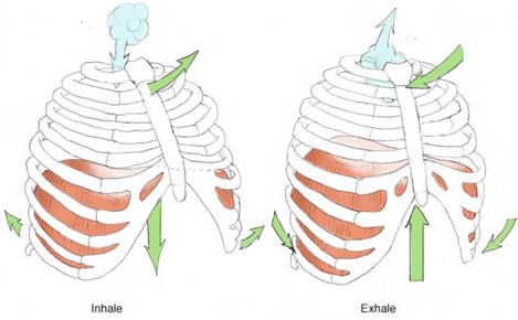 diaphragm | Beerasana