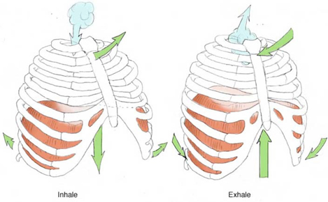 Photo credit: Image from Yoga Anatomy, by Leslie Kaminoff and Amy Matthews, used by permission.
